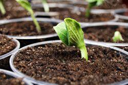 Kürbis pflanzen – 2 Möglichkeiten