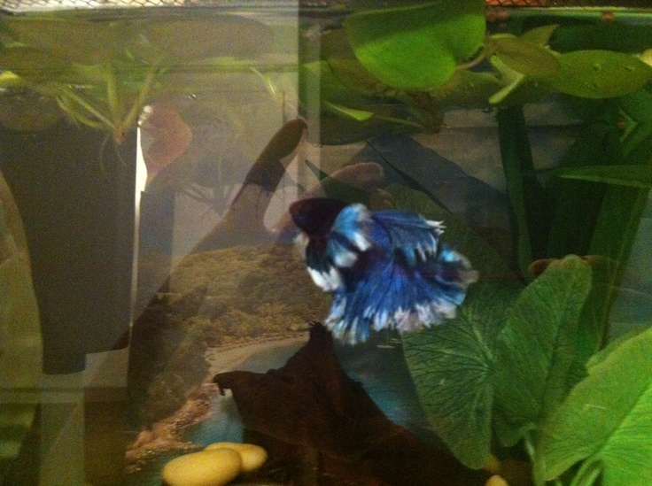 32 best betta beauties images on pinterest for Lifespan of a betta fish in captivity