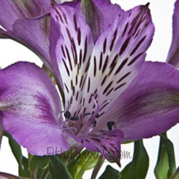 100 stems for $119.99 Purple Symphony Alstroemeria Flowers | FiftyFlowers.com