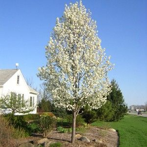 The Cleveland Select ornamental pear has a beautiful, almost perfect tear drop shape that is so neat it appears to be clipped. Before leaves form, the whole tree blossums simultaneously in early Spring, & then is covered in rich dark green foliage. In Autumn, the whole tree turns red in unison, rather than in patches. Not as narrow as a Capital Pear Tree, but not so wide that it can't go into must suburban gardens. 2m $44.90