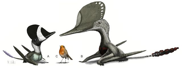From left - right: Darwinopterus robustodens, European robin (Erithacus rubecula), and Cuspicephalus. From Witton et al. 2015.    #Paleoart #Palaeontology #Pterosaurs #Robin