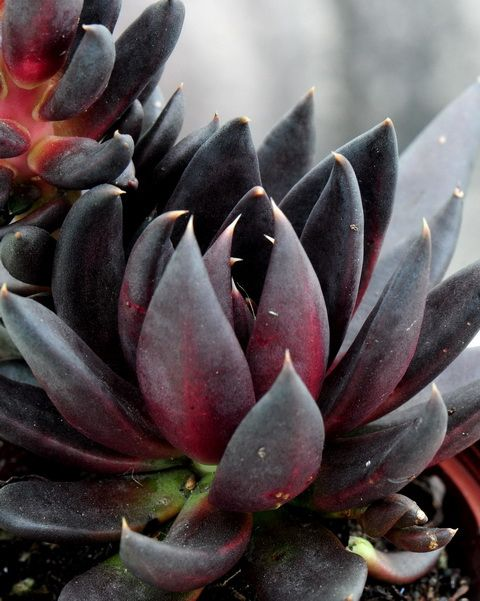 Echeveria affinis 'Black Knight' - the blackest echeveria