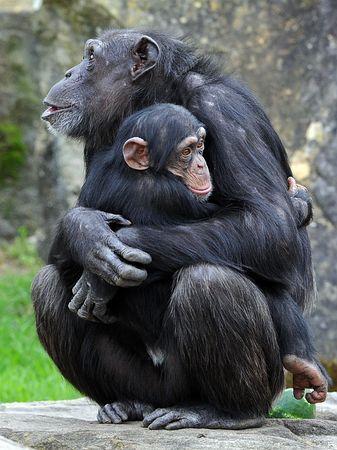 オーストラリアのシドニーにある動物園で飼育されているチンパンジーの親子=2011年9月(AFP=時事) ▼5Dec2014時事通信|「チンパンジーは人間でない」=自由認めず、保護団体の訴え棄却-米裁判所 http://www.jiji.com/jc/zc?k=201412/2014120500492
