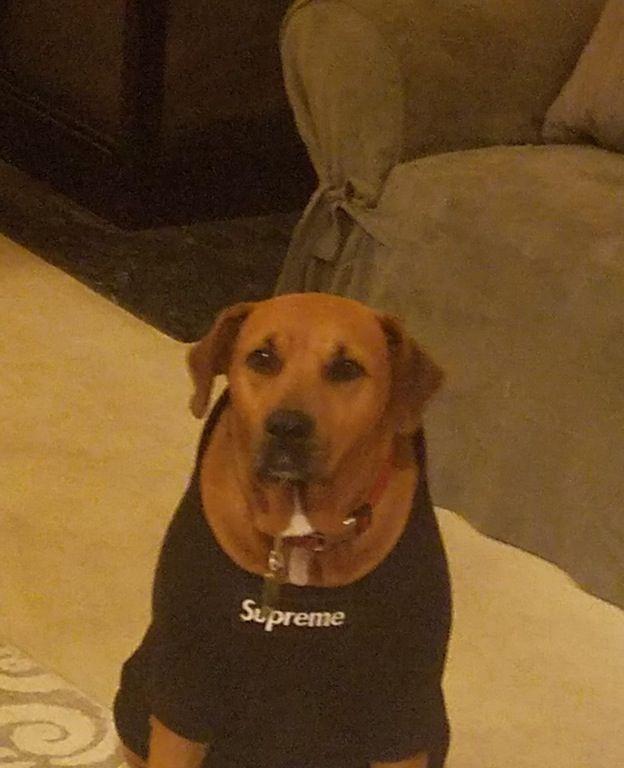 Dog Wearing Supreme Hoodie : supremeclothing
