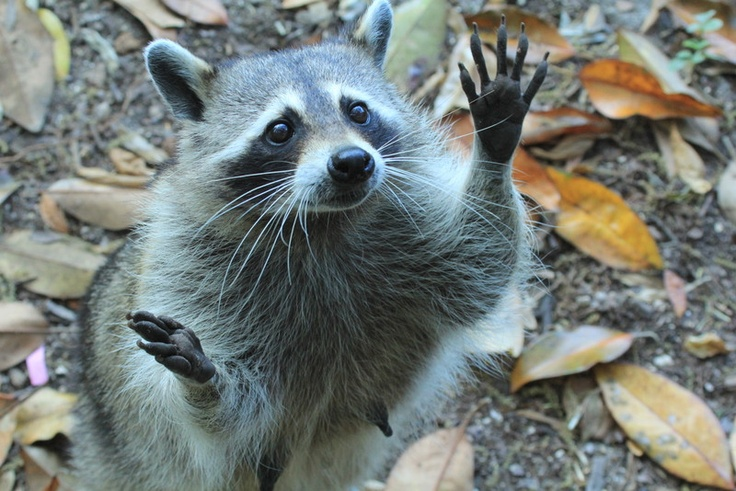 Raccoon wants something. Look at those nimble little hand