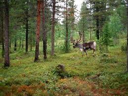 Además de unos renos enormes en un bosque que merece la pena recorrer