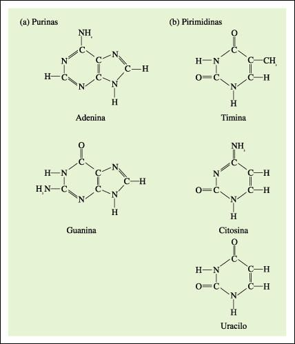 ACIDOS NUCLEICOS: El descubrimiento de los ácidos nucleicos se debe a Friedrich Miescher, quien en el año 1869 aisló de los núcleos de las células una sustancia ácida a la que llamó nucleína, nombre que posteriormente se cambió a ácido nucleico.