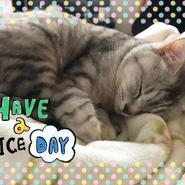 ♡ みなさん、おはにゃん😼ゴンちゃんです👈 土日ですね🍀皆さんの1日がいい日に なりますように🙋❤️ゴンちゃんは ぐっすり寝ています🤣いつものこと🤣 いい夢を見てるといいなあ〜🤔💗💗 猫も夢をみるのかな?気になるな🤔🤔 極楽ねこカレンダー2018参加中です💘 よかったら投票お願いします🙇♀️🙇♀️🙇♀️ #cat#neko#ねこ#ネコ#猫#キャット #日本猫#雑種猫#アメショもどき#愛猫 #ゴンちゃん#サバトラ#にゃんこ#美猫 #みんねこ#にゃび#はにぺと部#picneko #ニャンダフルライフ#ピクネコ#ねこ部 #にゃんだふるらいふ#ペコねこ部#ぬこ #にゃんすたぐらむ#ねこすたぐらむ #ウェブキャットショー#ウェブキャットショー2 #極楽ねこカレンダー#猫好きさんと繋がりたい