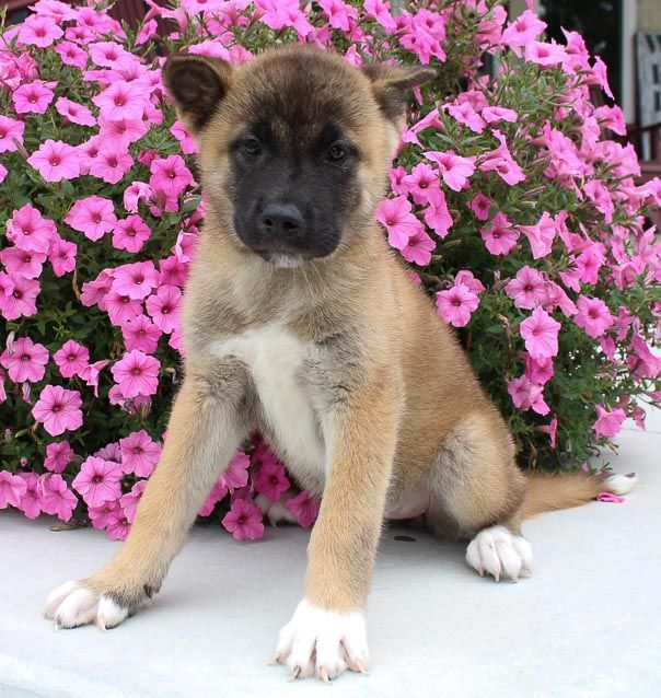 Adorable Akc Akita Puppy For Sale Near Fort Wayne Indiana
