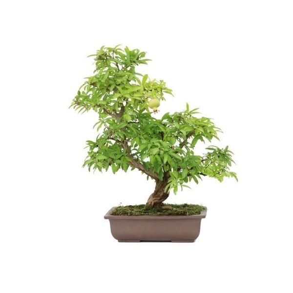 vente de bonsai specimen punica granatum 60 cm sankaly bonsa vente achat en ligne de bonsai. Black Bedroom Furniture Sets. Home Design Ideas