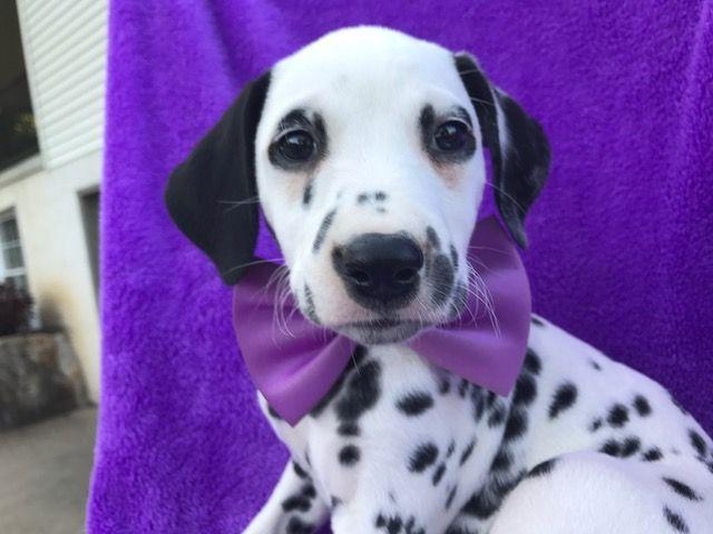 Dalmatian puppy for sale in QUARRYVILLE, PA. ADN-42607 on PuppyFinder.com Gender: Female. Age: 7 Weeks Old