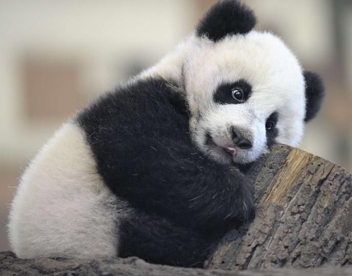 Havent you been this tired Cute Panda  CuteStuffco