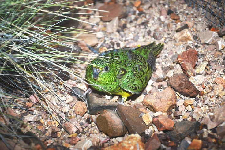 After nearly a century of presumed extinction, the Australian Night Parrot was first rediscovered in 2013 after an exhaustive search by naturalist John Young. After that first discovery, Young kept up his searching and was recently rewarded by finding another population of the reclusive nocturnal birds in Diamantina National Park: