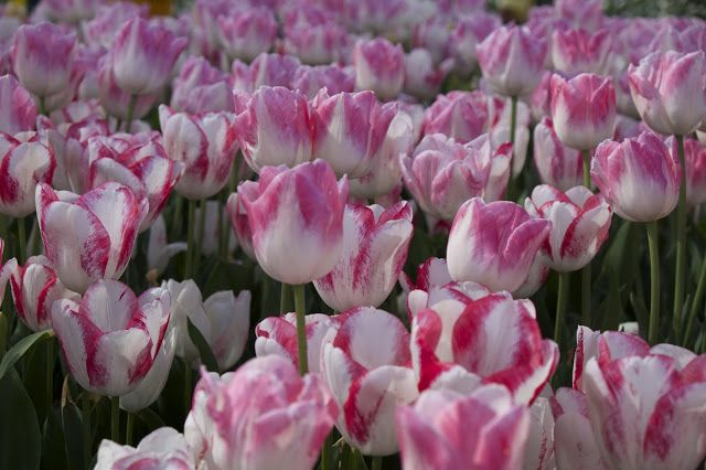 the lime walk: TULIP FESTIVAL IN BOWRAL  Spring played hide and s...
