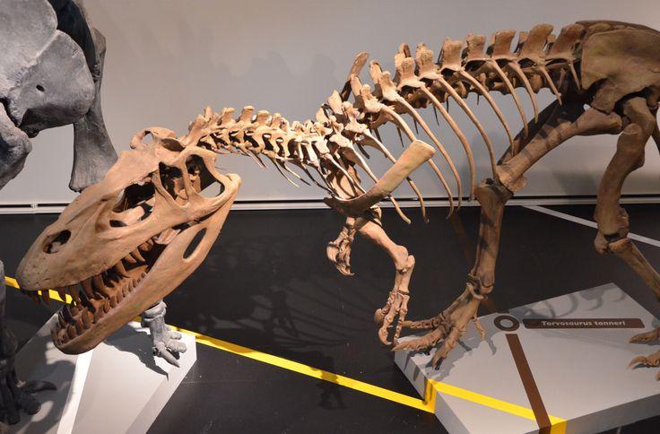 Torvosaurus_Madrid.jpg (4592×3020) - Au Museo de Ciencias Naturales, Madrid. Dinosauria, Saurischia, Theropoda, Megalosauroidea, Megalosauridae, Megalosaurinae. Auteur : Javier Cuervo / Flickr. 2011.