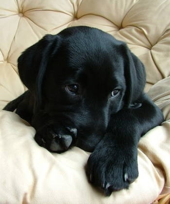 The cutest Black Labrador Puppy.Gotta hug him