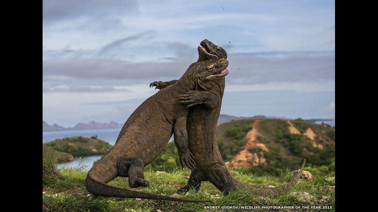 Briga de dragões-de-komodo. A foto feita por Andrey Gudkov no Parque Nacional de Komodo na Indonésia.