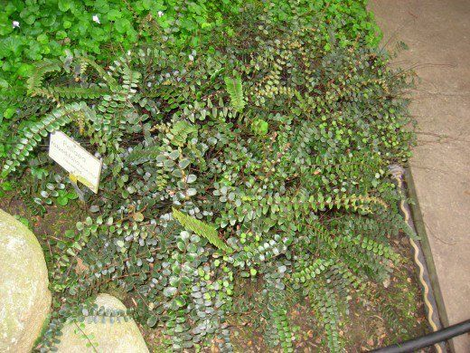 Best 25 Button Fern Ideas Only On Pinterest Maidenhair