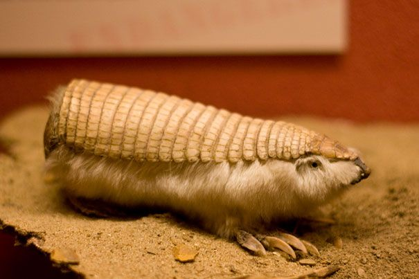 Pink fairy armadillo (Chlamyphorus truncatus) or pichiciego is the smallest species of armadillo (mammals of the family Dasypodidae, mostly known for having a bony armor shell). It is found in central Argentina, where it inhabits dry grasslands and sandy plains with thorn bushes and cacti.