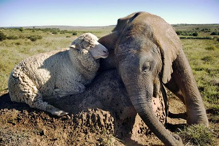 """""""*Albert* the 2-year old sheep and 6-month *Themba* the elephant"""" [Themba was rejected by other elephants after his mother fell down a cliff and died. Lyndal Davies and her team took him to the Shamwari Wildlife Rehabilitation Centre near Port Elizabeth, South Africa. They will release Themba when he is two but, until then, he has plenty of time with Albert. 'Albert copies everything Themba does.']'h4d'121023"""