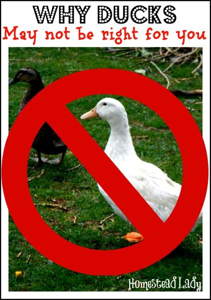 Why Ducks May Not Be Right For You l Honest look at the pros and cons l Homestead Lady (.com)
