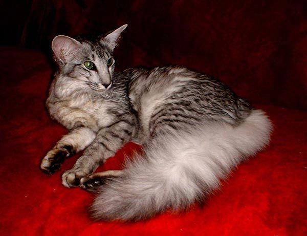 rare cat breeds-Oriental Longhair