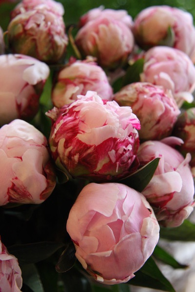 pink peonies : fleurs trémolo florist