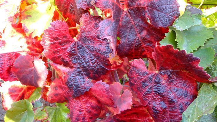 Vigne#automne#Montgueux-Champagne Leroy Meirhaeghe