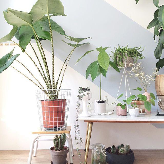 Alocasia Zebrina plant