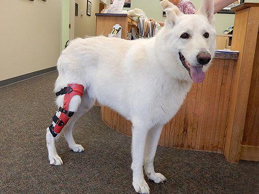ACL Dog Brace | Dog Cruciate Brace | Dog Knee Braces | Dog Knee Support | MyPetsBrace.com