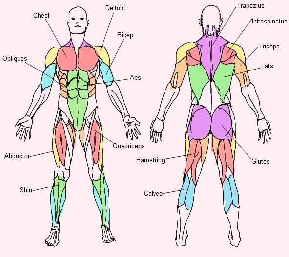 Very Simple Muscle Chart for people like me who haven\'t taken ...
