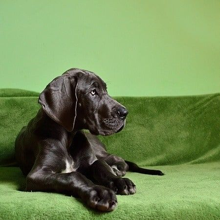 13 Great Dane Health Problems And How To Treat Them Large Dog