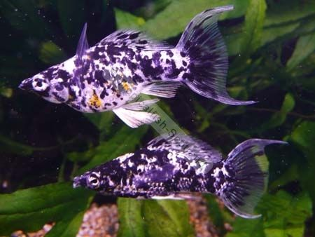 Molly Tropical Fish | 19 Best Balloon Mollies Images On Pinterest Fish Tanks Fish
