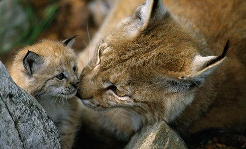 Lodjur (hägn)© Staffan Widstrand / WWF