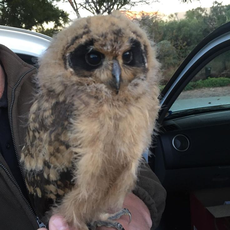 The newest critter to join us in our bird of prey rehabilitation program. Meet Kiko, a 14 day old Marsh Owl who was brought to us after she was orphaned on a nearby road. #JoburgsGreenHeart