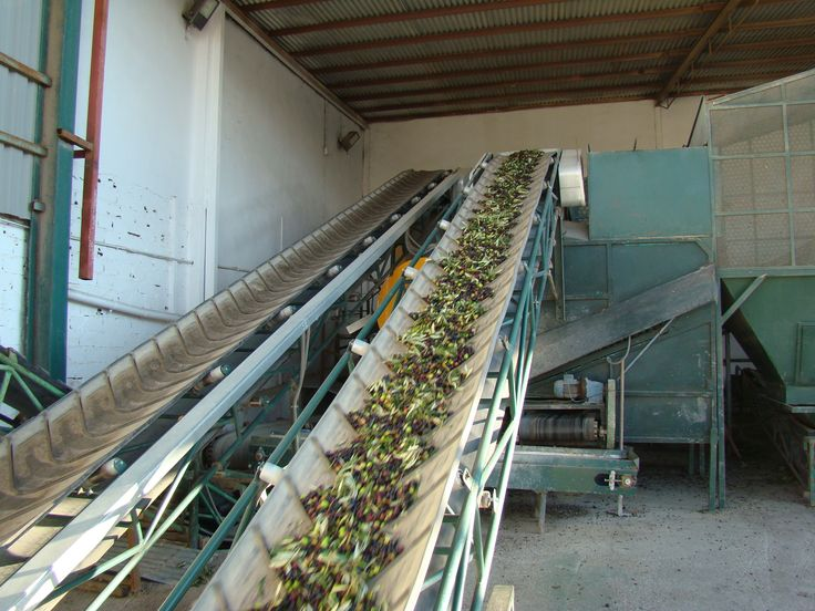 Once the olives are selected, they are placed on a conveyor belt together with the leaves, branches, wood, iron and stones. This belt takes them to the air machine. The fan air force can eliminate all foreign particles that may alter the production of the oil.