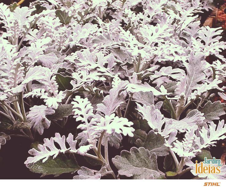 A Cinerária-marítima (Senecio flaccidus var. douglasii), é uma planta de características diferenciadas, como suas folhas aveludadas e sua coloração acinzentada. Necessita de sol pleno, regas frequentes e solo bem drenado e fértil. É tolerante ao frio e multiplica-se por estaca na primavera. Suas flores são pequenas  e delicadas, apresentando coloração amarela.