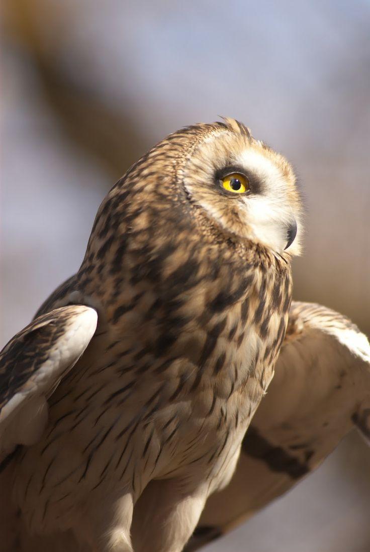 Owl 57 26 best Pueo : ...