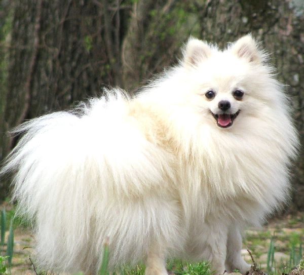Pomeranian, she is beautiful