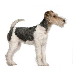 Originato in Bretagna in tempi antichissimi, il Fox Terrier a pelo duro fu impiegato per lungo tempo come cane da caccia alla volpe.
