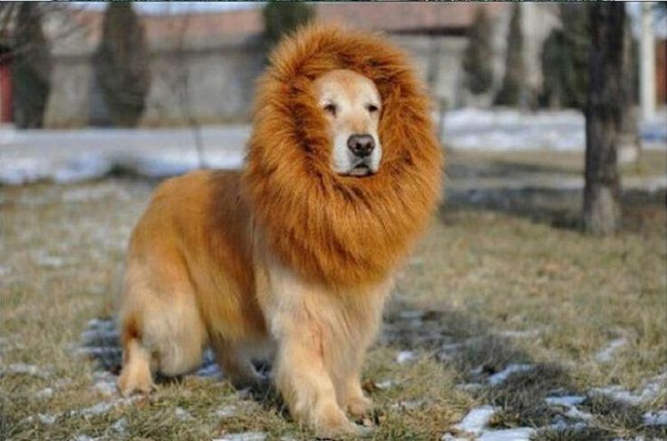Top 10 dogs that look like lions ... ~♥~ ... Many dog owners have the o adopt dogs that look like the other animals as wolves, foxes, leopards, tigers and lions, being groomed to look like the other animals. If you intend to adopt a dog that looks like animals, you should know their characteristics. If you choose to adopt a dog that look... .. #BangarMastiff, #ChowChow, #DogsThatLookLikeLions, #GoldenRetriever, #Heartworm, #IndigenousMastiff, #Leonberger, #NepaliMountainDog