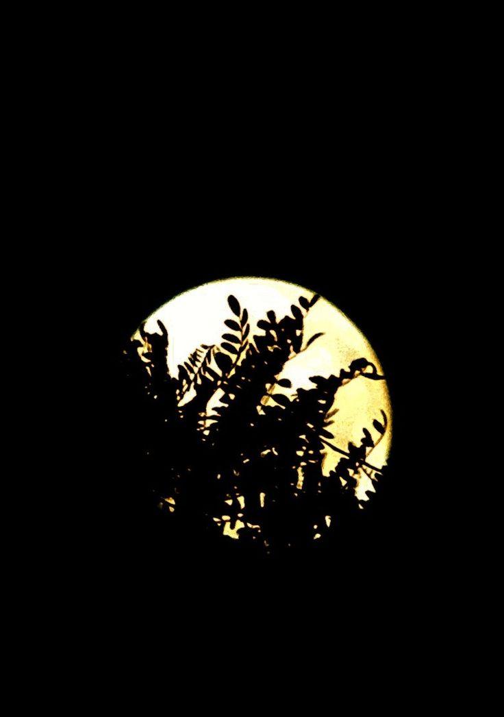 Supermoon behind Kowhai Tree, Auckland, New Zealand 16.11.16