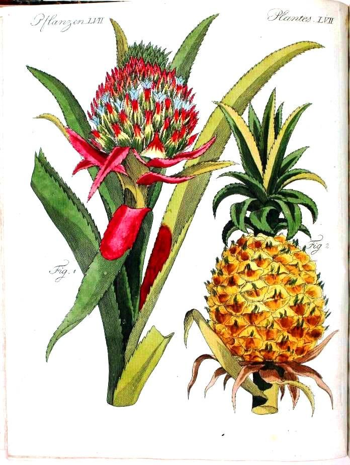 botanical illustration from vintage printable - pineapple