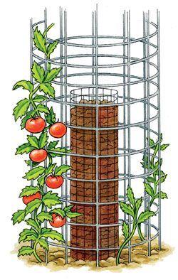 Tomaten selbst anzubauen ist nicht schwer – 45 Kilo Tomaten aus fünf Pflanzen! Wo Sie noch unbedenklich Saatgut kaufen können – netzfrauen- netzfrauen – s l