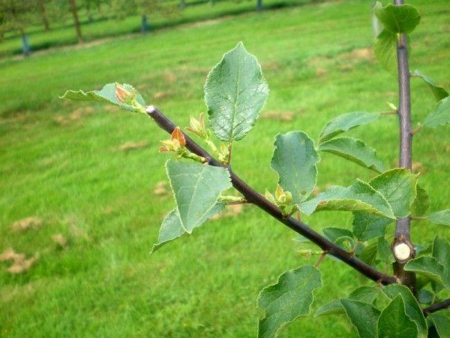 Les 67 meilleures images du tableau former un arbre fruitier par arcure sur pinterest arbres - Taille des pruniers mirabelles ...