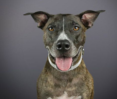 Photographer takes adorable headshots of pit bulls to show the world how lovable they are