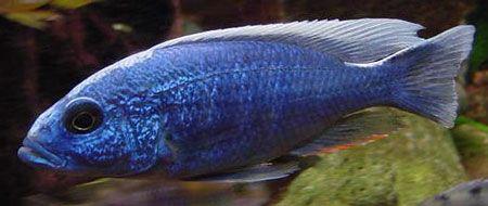 Les cichlidés piscivores du Malawi (1/2) - Eau douce, Afrique lac Malawi - Aquarium Webzine, l'aquariophilie d'eau douce et d'eau de mer