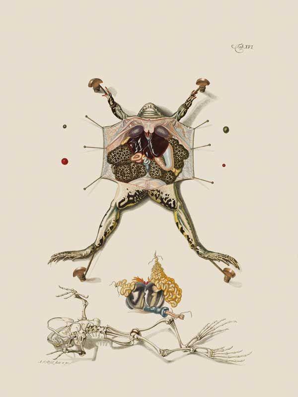 <strong>Rana dissezionata.</strong> L'illustrazione, tratta dal volume  <em>Historia naturalis ranarum nostratium</em>... (1758) di August Johann Rösel von Rosenhof, mostra le interiora di una rana verde femmina (<em>Pelophylax kl. Esculentus</em>) mettendo in evidenza le masse di uova, mentre in basso ne è ricostruito lo scheletro. L'autore ha disegnato anche gli spilli di dissezione e le ombre per rendere l'opera più realistica. (© AMNH \ D. Finnin)