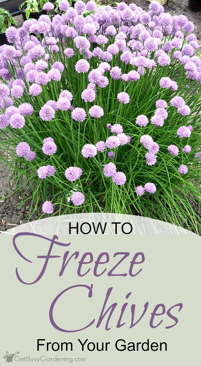 Freezing chives fresh from your garden preserves the flavor and is a great way to have garden fresh chives in your recipes all year round.