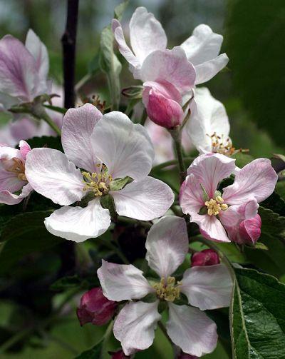har også et æbletræ i blomst - 10. maj